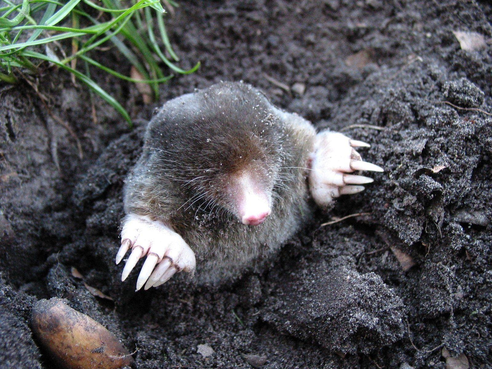 mole-13299