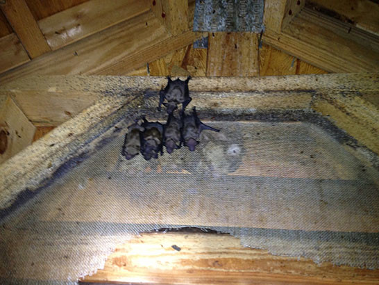 bat removal from gable vent