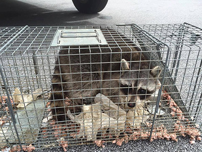 wildlife removal control raccoon trapping removal