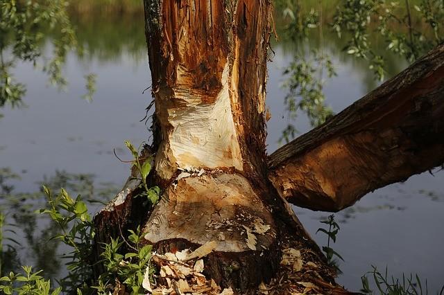 atlanta beaver damage