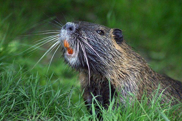 beaver trapping atlanta